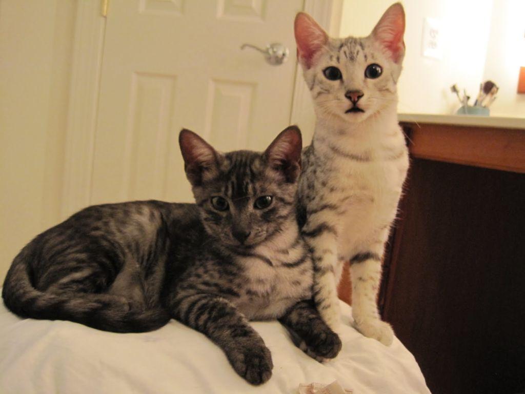 Коты породы Египетская мау разных окрасов