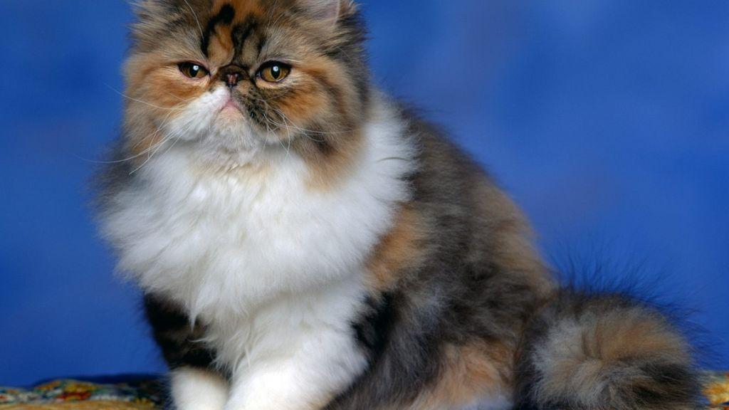 Персидские кошки имеют слабое здоровье