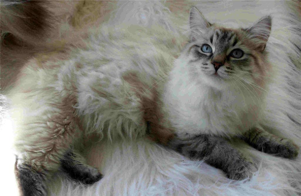 Вариация окраса сибирской кошки