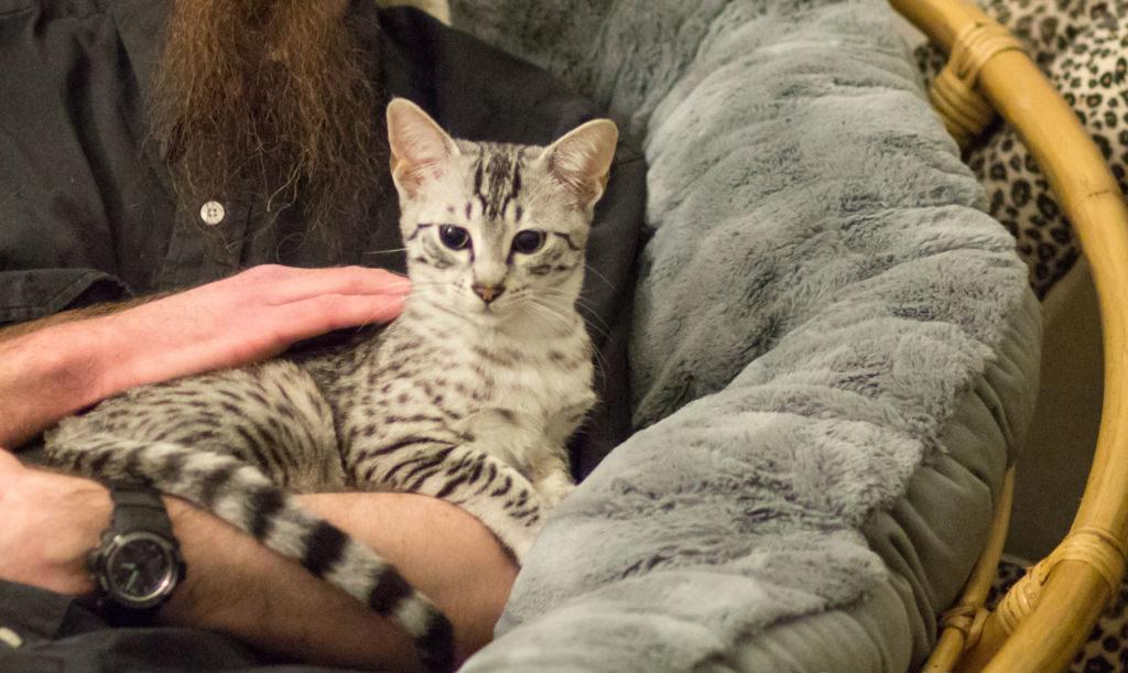 Кошка Египетская мау на руках у хозяина