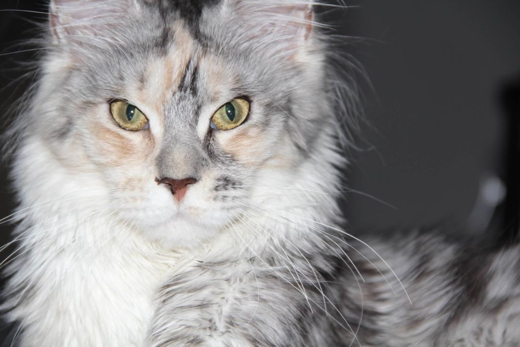 Некоторые заводчики мейн кунов предлагают выделить котов с аномальным развитием лап в отдельную породу или группу