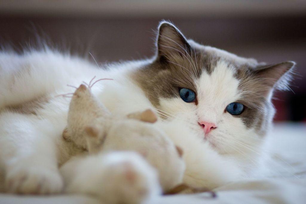 Бобтейлы очень общительные и дружелюбные кошки