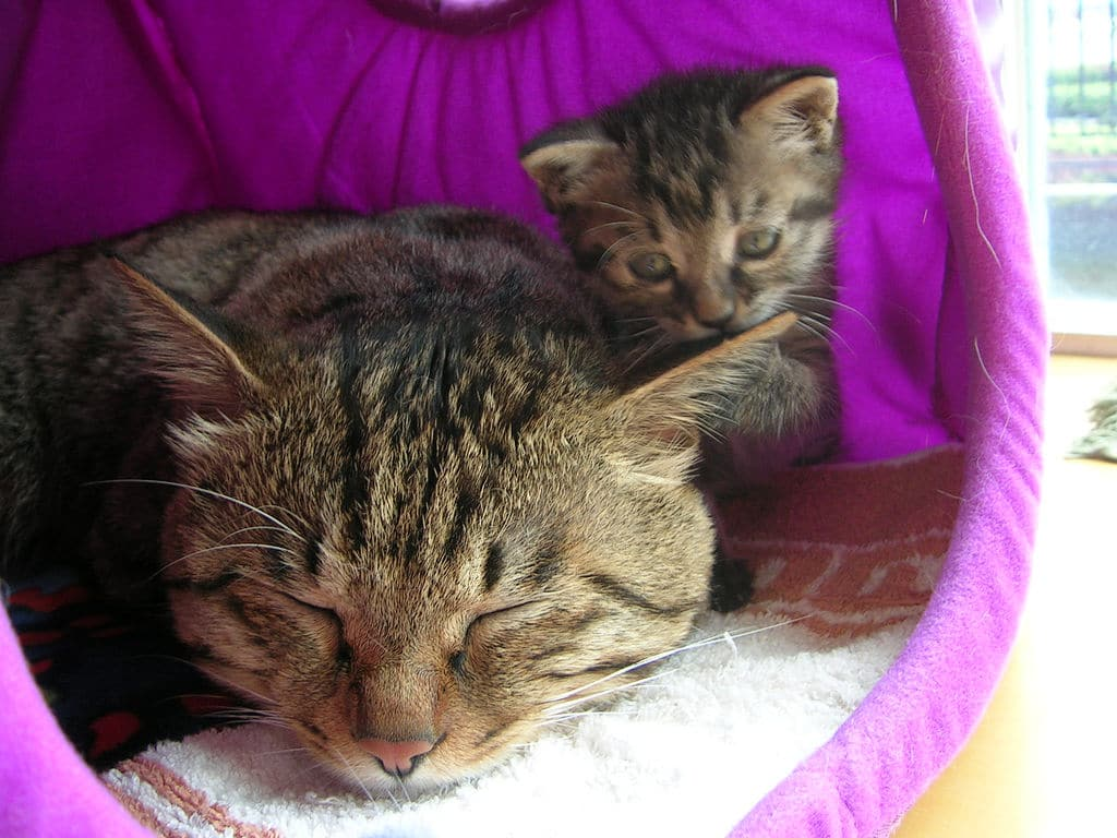Котята развиваются медленно и полностью созревают только к трем годам