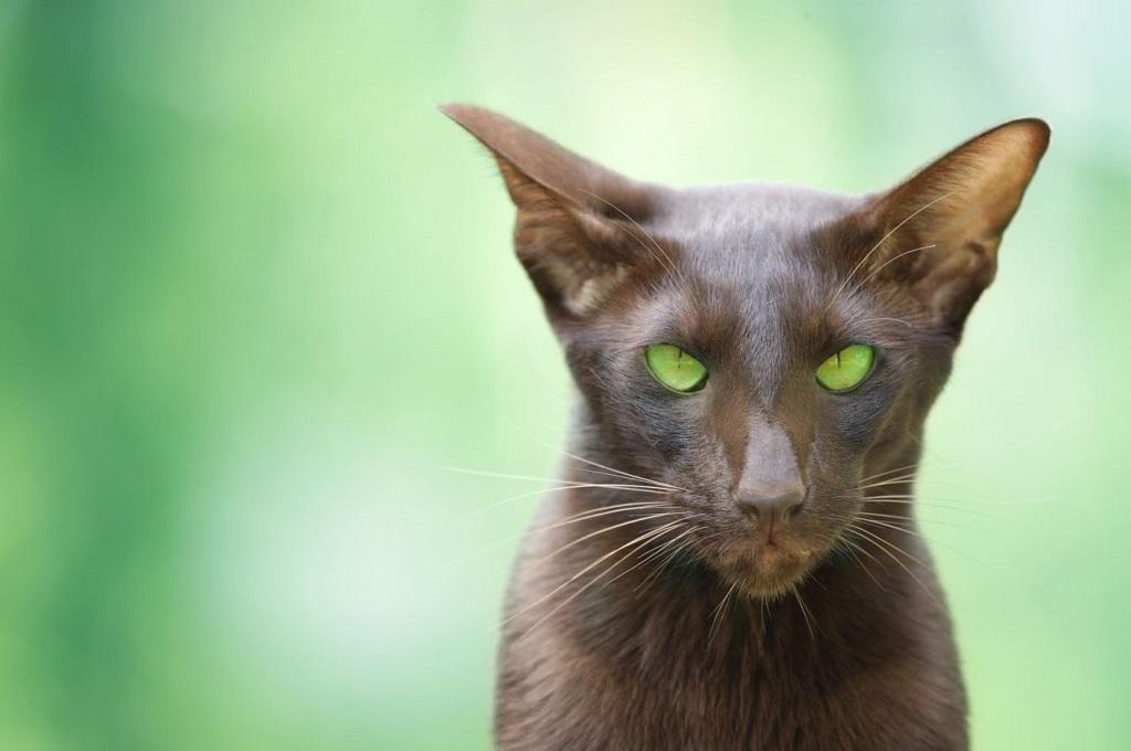 У ориенталов зеленые глаза, но оттенки могут колебаться от светлого до темно-зеленого