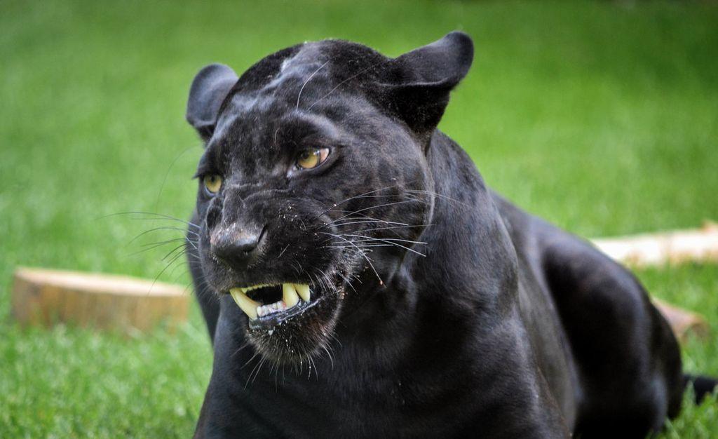 Темный ягуар-меланист