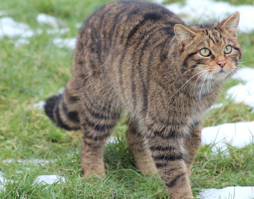 Высота лесных кошек может достигать 40-43 см в холке