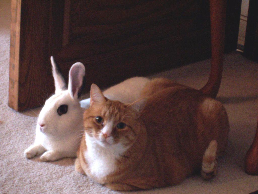 Американские кошки имеют отменное здоровье