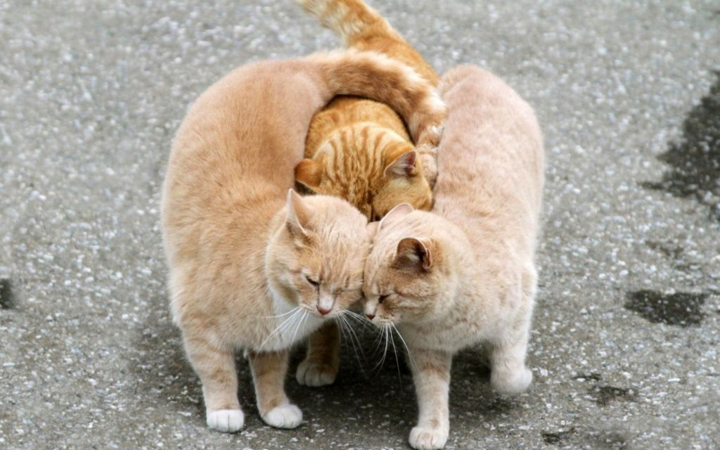 the most affectionate breeds of cats