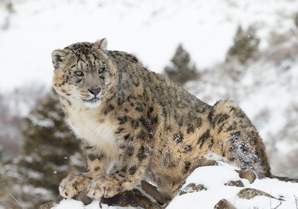 Из-за своего меха снежный барс становится целью браконьеров
