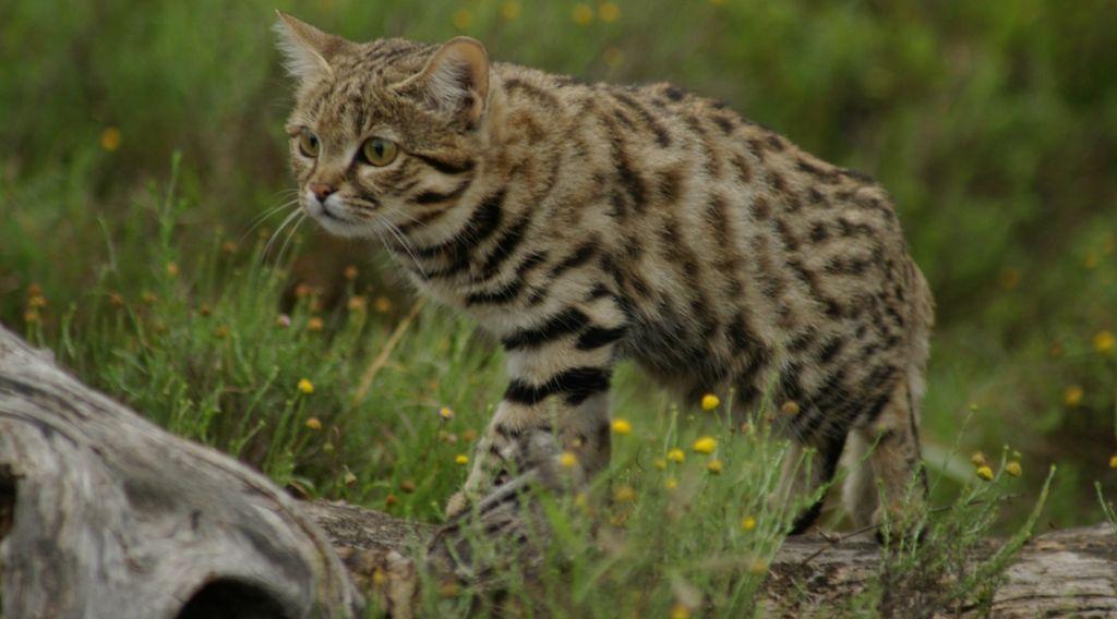 Кошка обладает мускулистым телом и короткими лапами