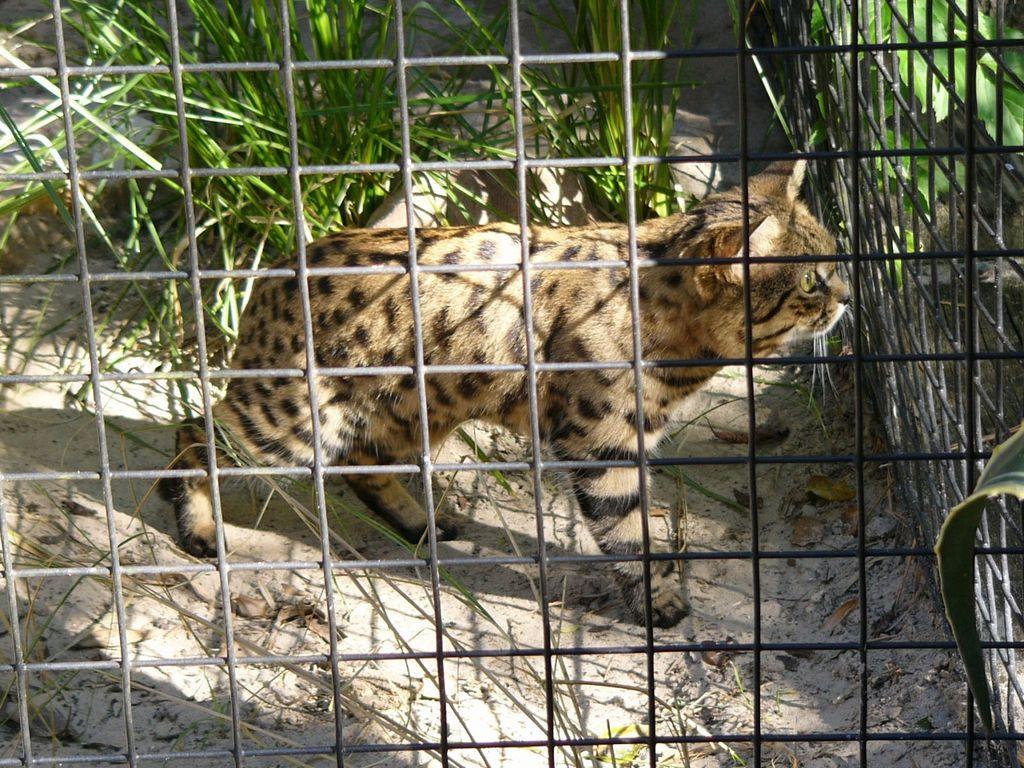 Чаще всего черноногие африканские кошки обитают в неволе только в зоопарках