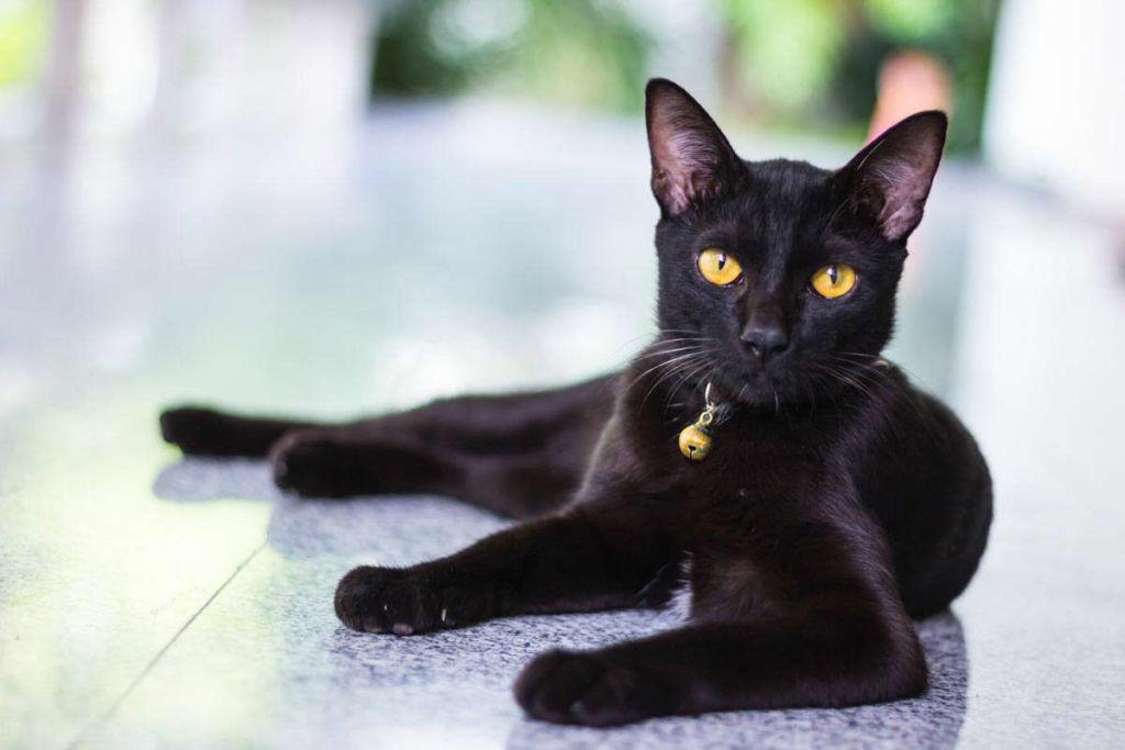 Питание бомбейской кошки