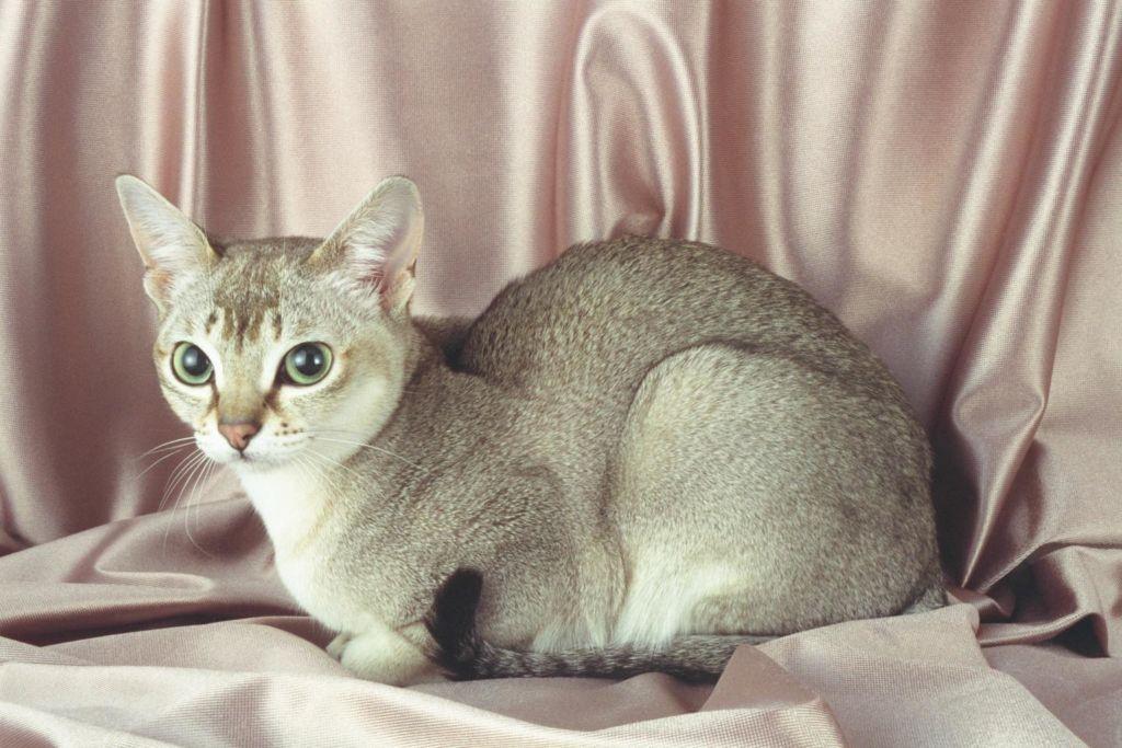 Окраса у кошки всего 2 - розовый и слоновая кость