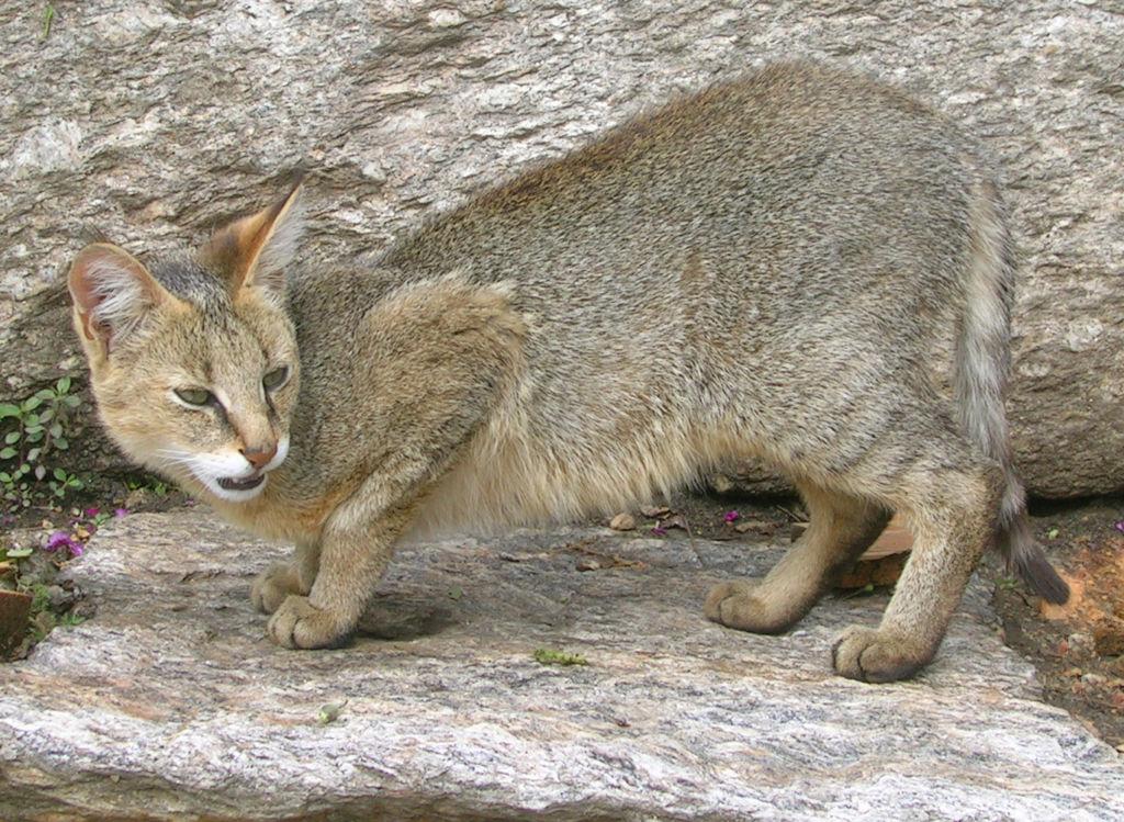 Камышовые коты - очень редкие животные