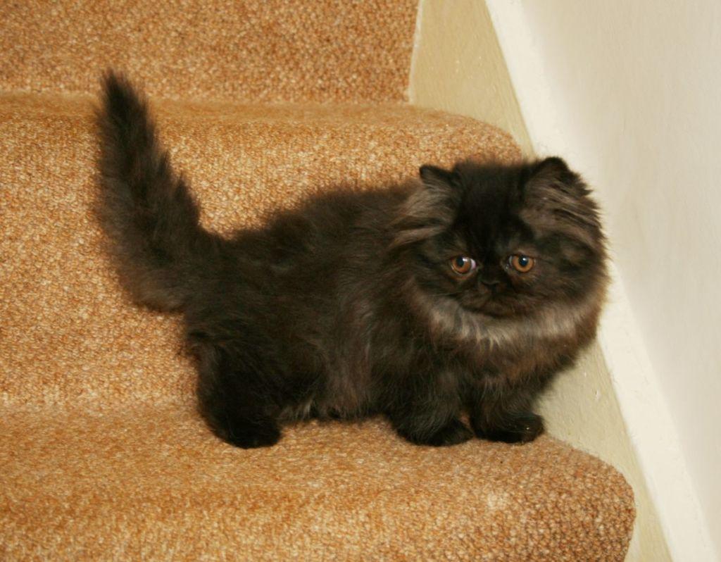 персидские коты виды