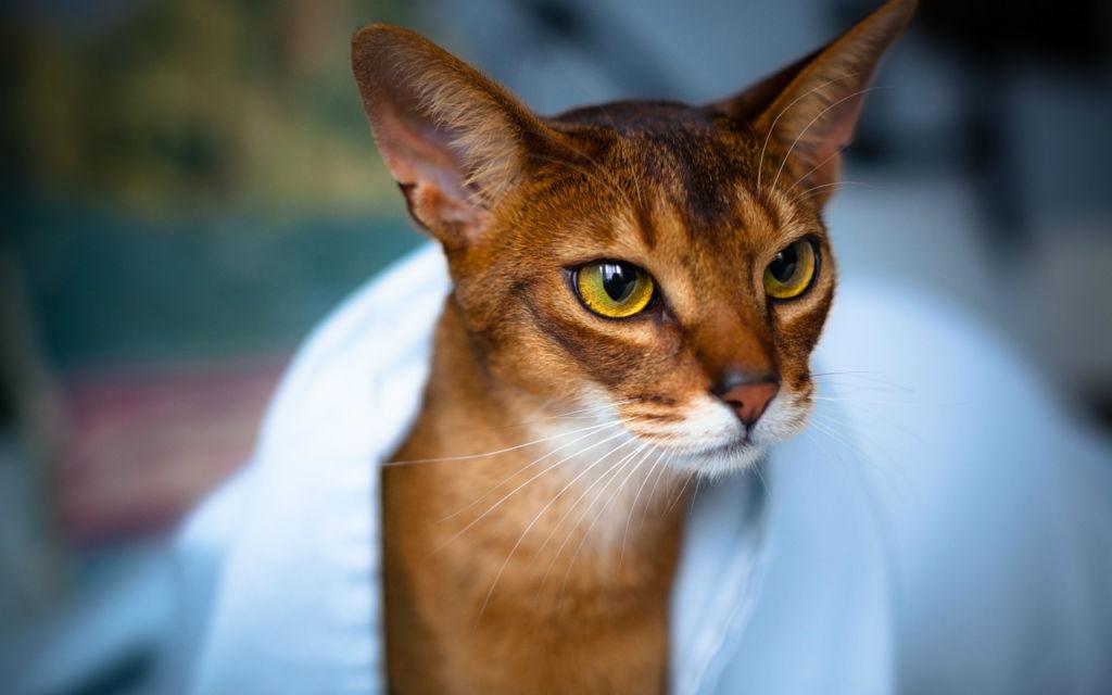 Уход за кошкой должен включать мытье, чистку зубов и ушей