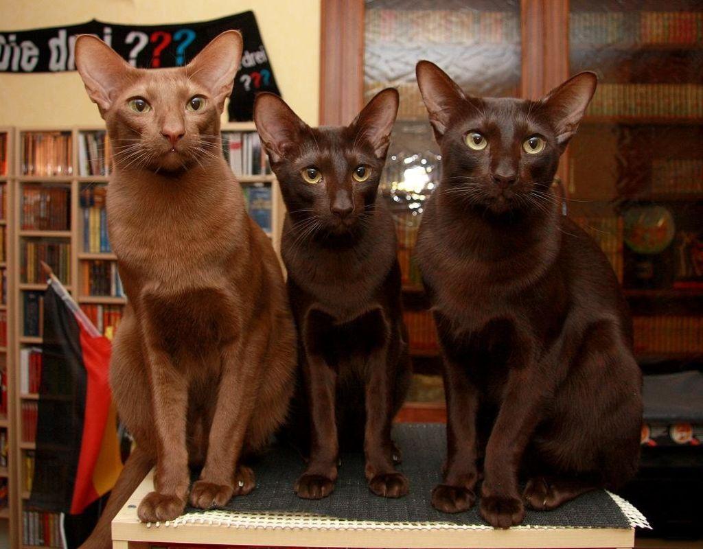 Три кошки породы Гавана