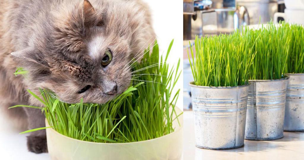 Как называется трава для кошек, как ее посадить и вырастить