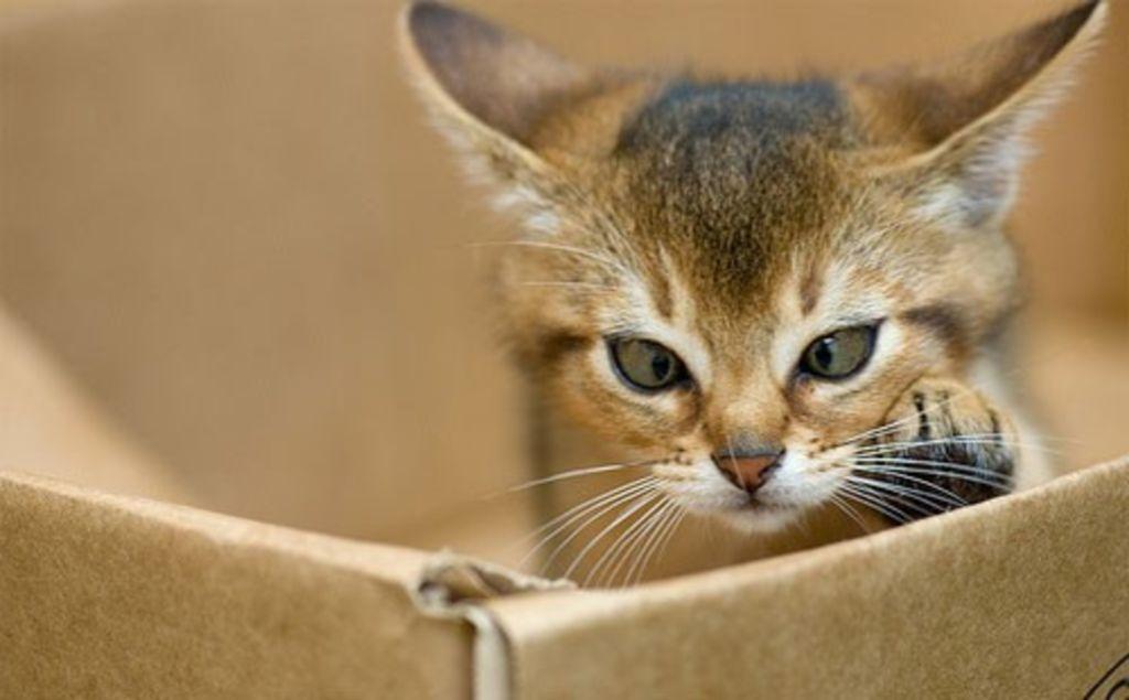 Абиссинцы - очень любопытные кошки