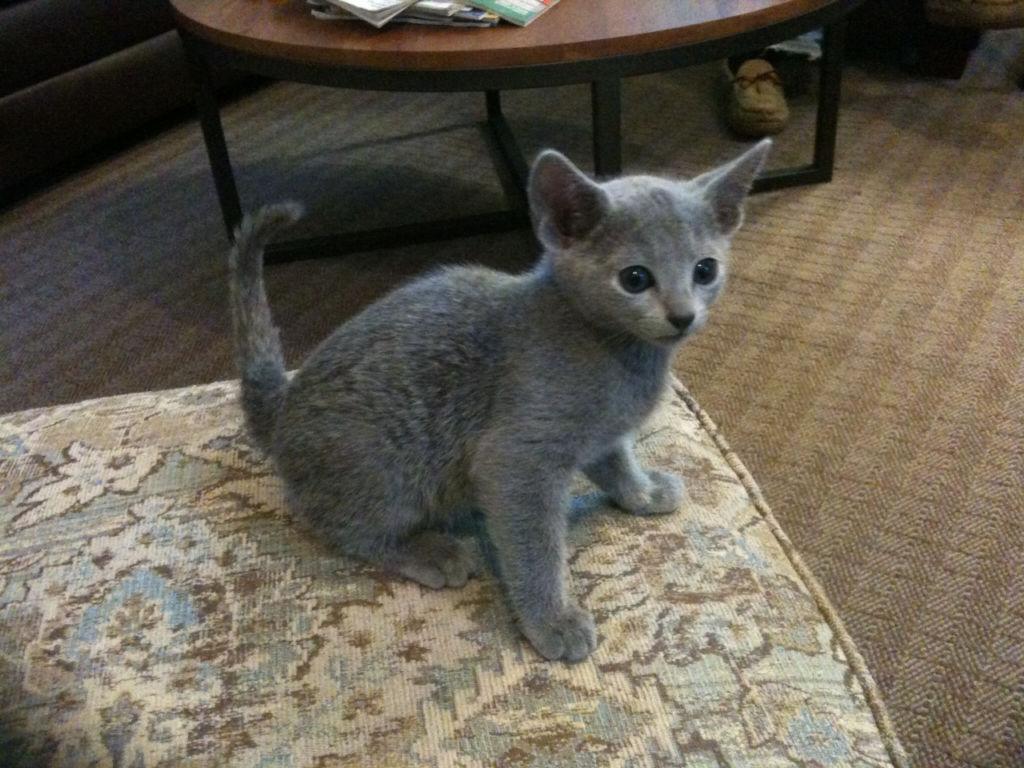 Стоимость котят русской голубой кошки