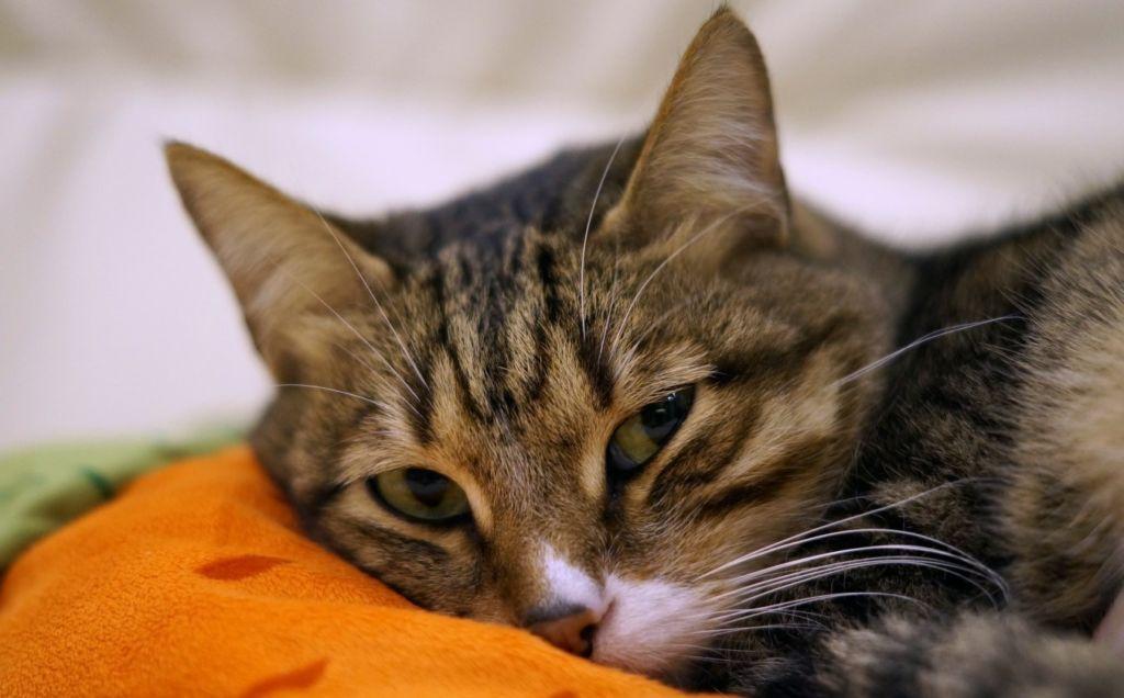 5 популярных капель и народные рецепты от ушного клеща для кошек