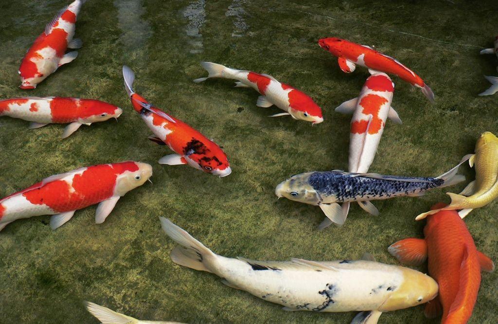 На фоне кои другие рыбы выглядят малозаметно