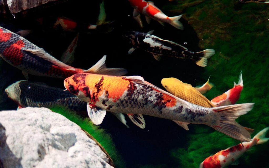 Кои – достаточно крупный представитель пресноводных рыб
