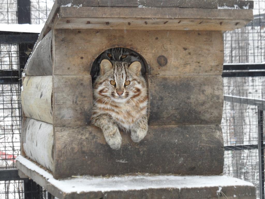 Живя в зоопарке дальневосточный кот все равно останется диким