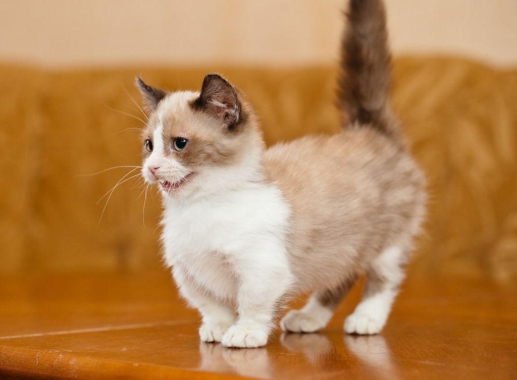 порода кошки манчкин фото