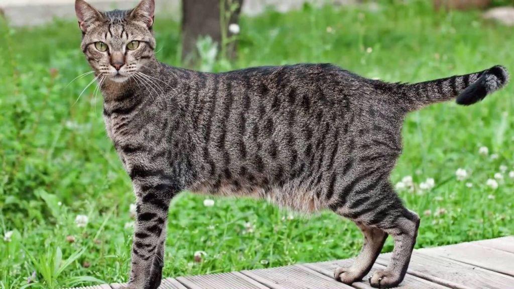 Кошка Египетская мау на улице