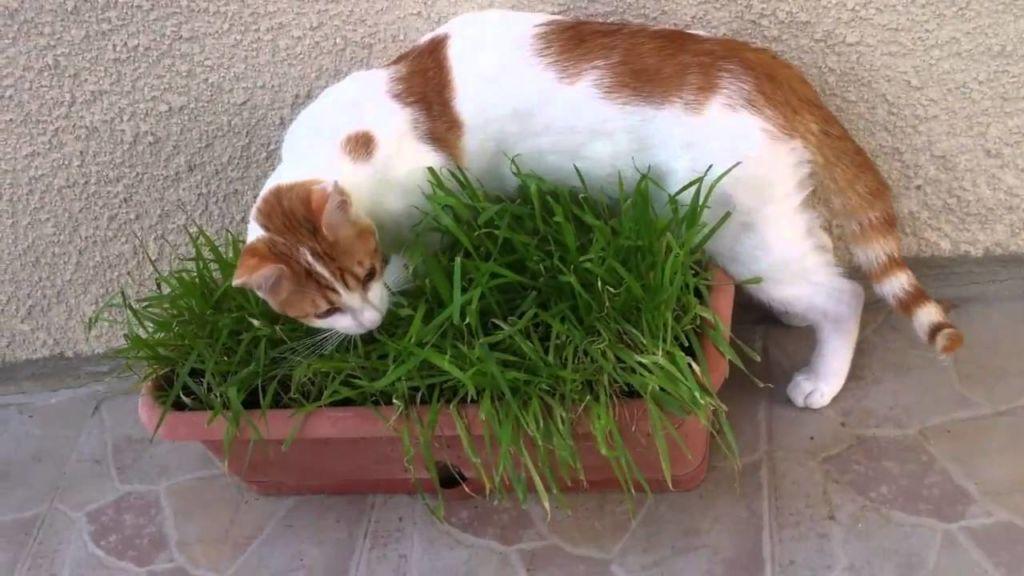 Трава для кошки является физиологической потребностью