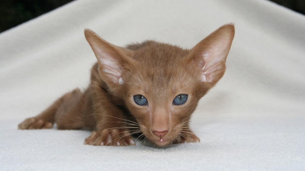 Описание породы ориентальной кошки и ее особенности