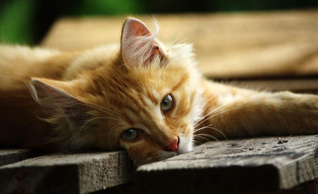 Рыжий кот - это очень позитивное животное