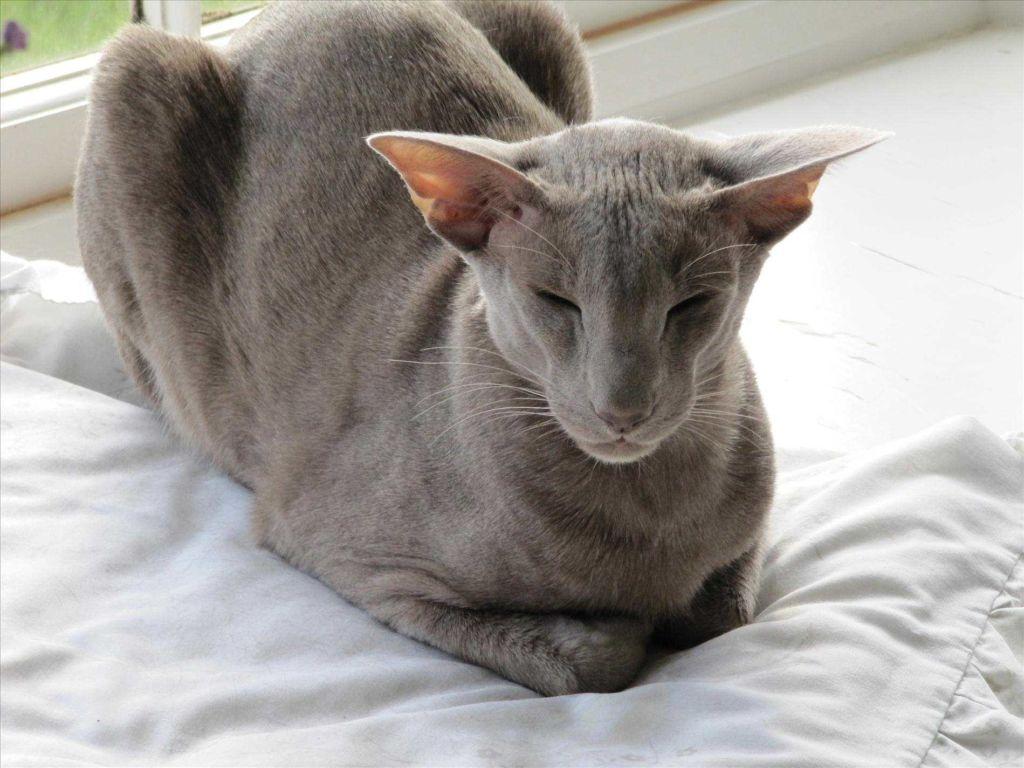 Ориентальная порода кошек Грузин