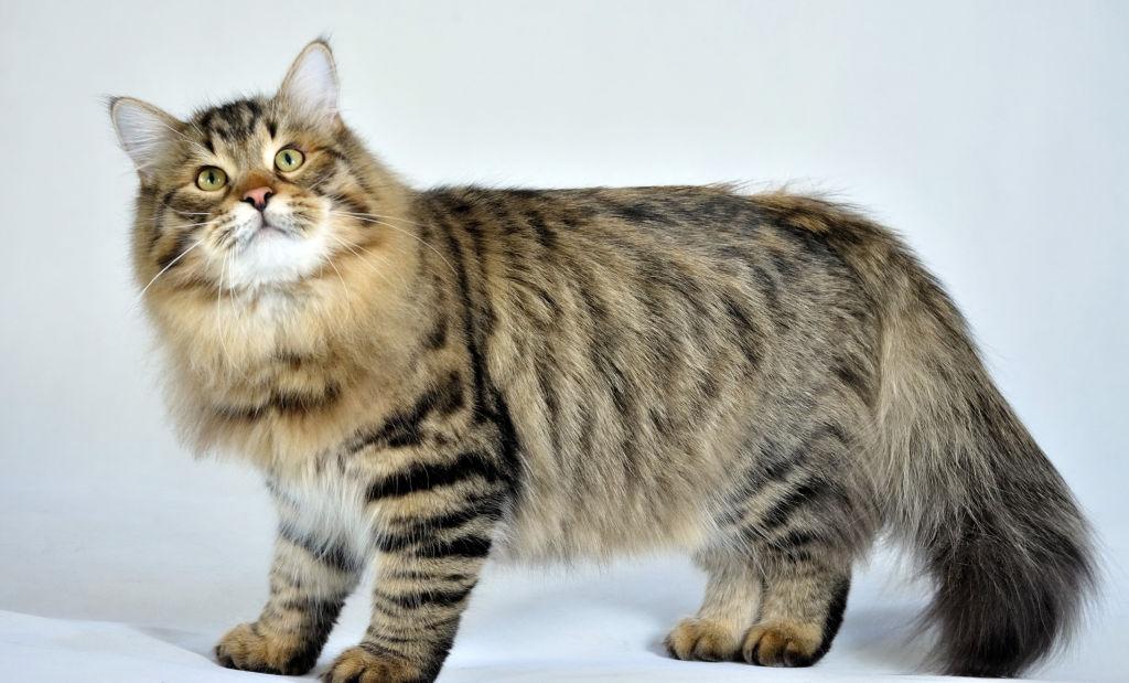 Стандартный внешний вид сибирской кошки