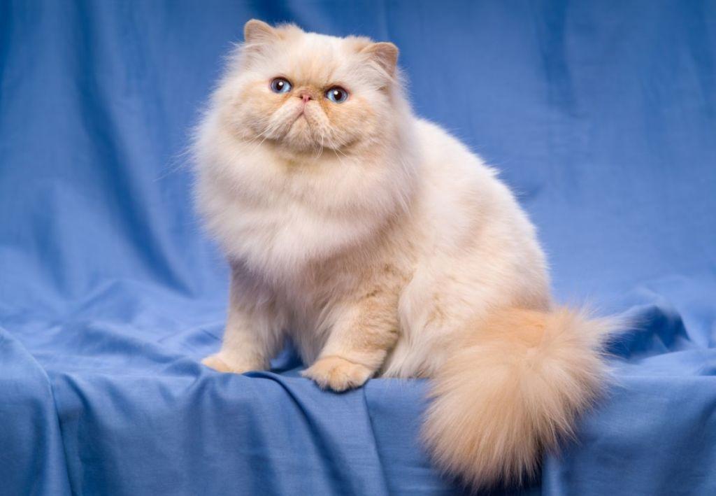 Стандартный вид персидской кошки
