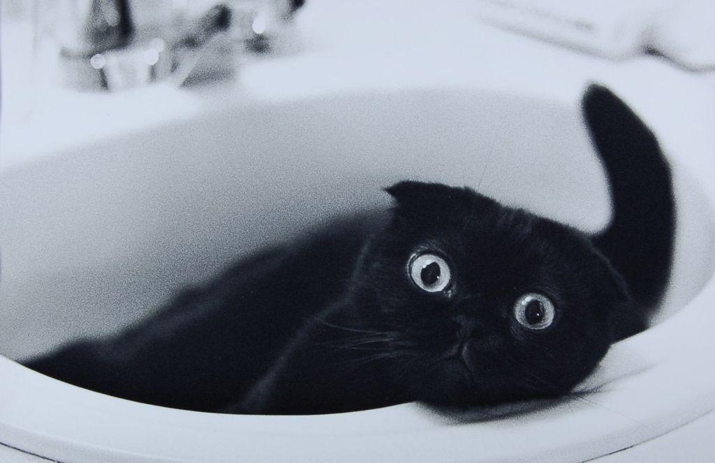 Черные вислоухие коты легкообучаемы и даже могут выполнять несложные команды