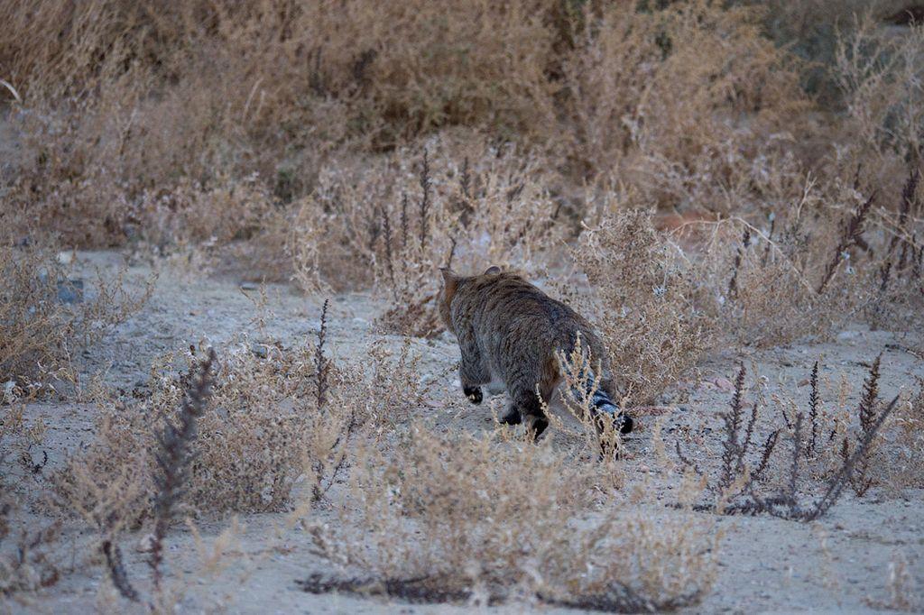 Степная дикая кошка выходит на охоту когда начинает темнеть