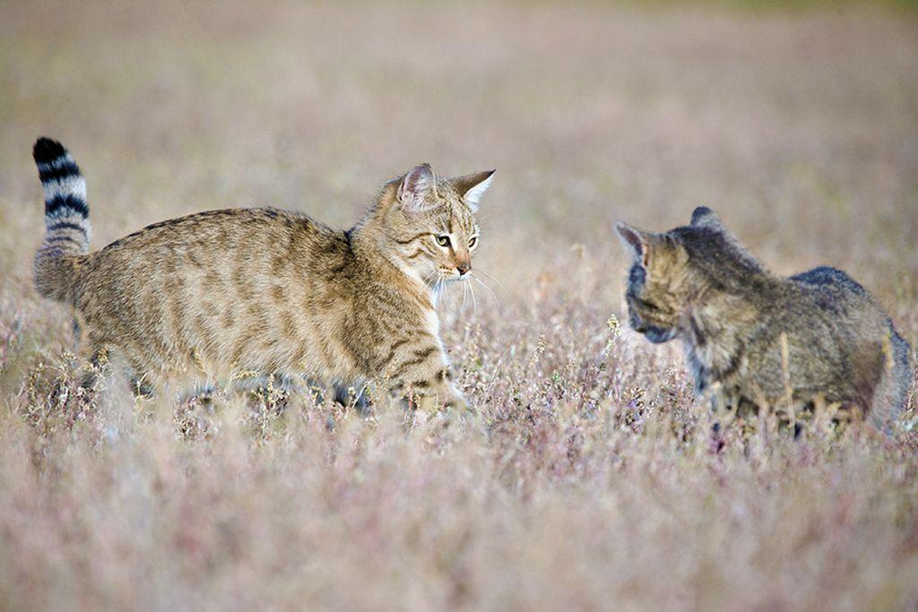 Брачный период степных кошек длится с конца января до начала февраля