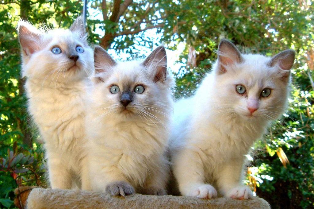 Стоимость котят зависит от нескольких факторов: - родословная, возраст, экстерьер и здоровье