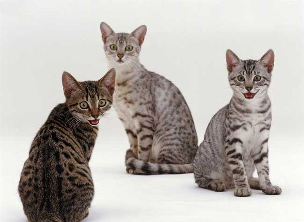 Самые красивые кошки