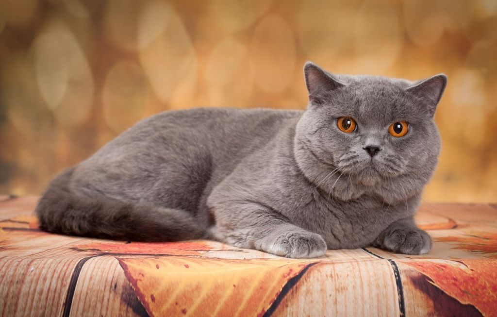 Британская короткошерстная кошка