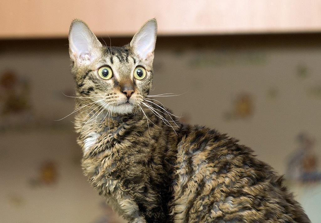 Кошка уральский рекс