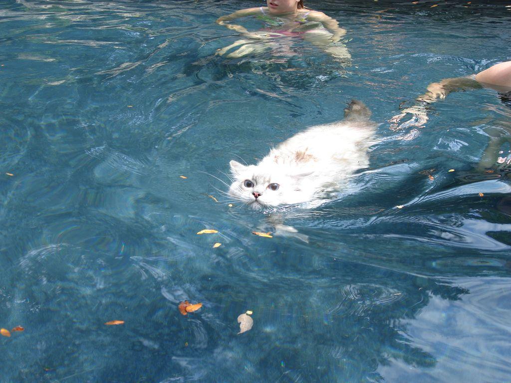 В отличие от обычных кошек ванская любит плавать
