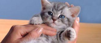 Кошки окраса вискас