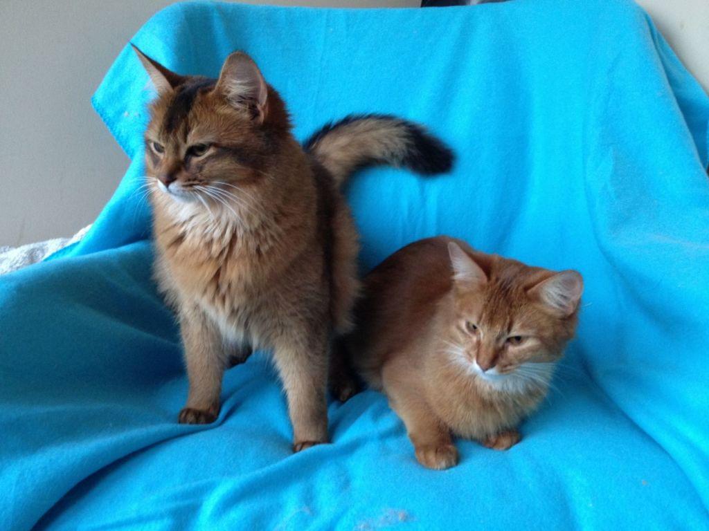Стоимость сомалийского котенка может доходить до 120 000 рублей