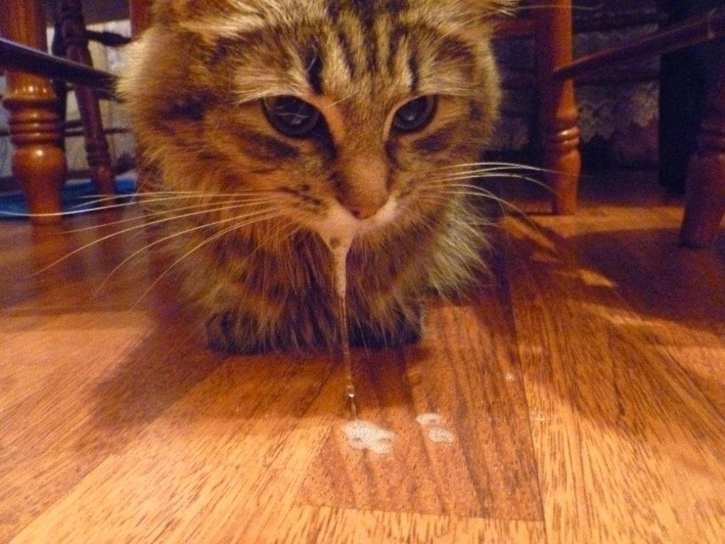 У кошки обильное слюноотделение