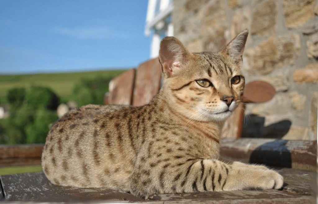 Само слово мау в переводе с египетского означает кошка