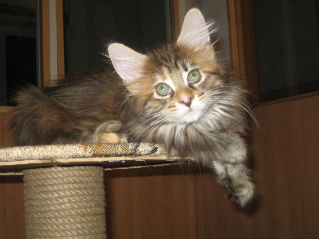Самки мейн-кунов вынашивают потомство дольше, чем представители других пород кошек