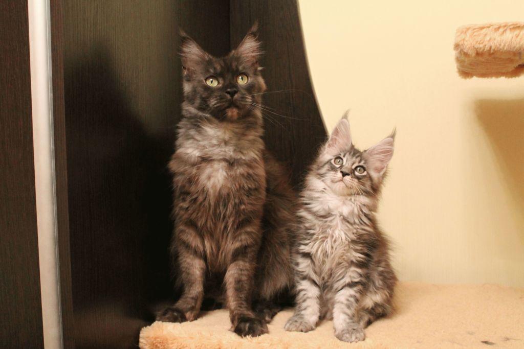 Кошки порды Мейн кун